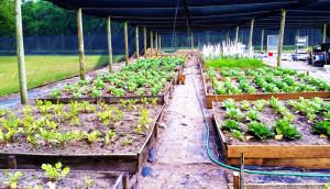 Trinity-rescue-mission-freedom-farm-veggies